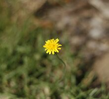 Yellow dandelion flower by Sangeeta