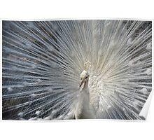 White Peacocks Poster