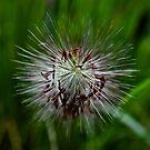 pennisetum grass by gary roberts