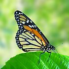 butterfly on leaf by anoopjoysury