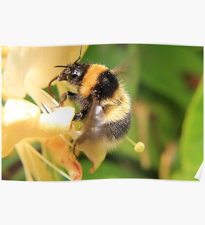 Bumble on the honeysuckle Poster