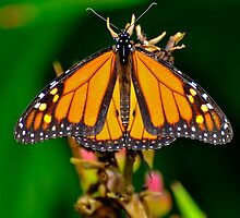 MONARCH BUTTERFLY by RGHunt