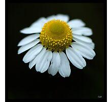 Flowers Squared - Gloomy Daisy Photographic Print