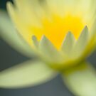 Water lily in Yellow by lgraham