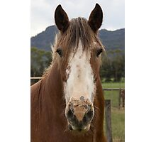 Rosie, the Clydesdale. Photographic Print