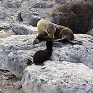 Galapagos Islands: Mother Sea Lion and Pup by tpfmiller