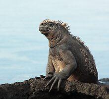 Galapagos Islands: Massive Marine Iguana by tpfmiller