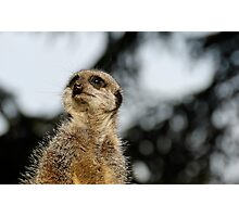 Compare the Meerkat Photographic Print