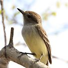 Galapagos Islands: Flycatcher by tpfmiller