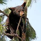 Black Bear Cub 2 by Teresa Zieba