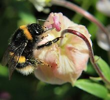 Bumble on a bud by missmoneypenny