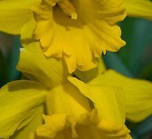 Pair of daffodils  by Michael Brewer