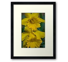 Pair of daffodils  Framed Print