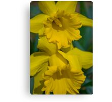 Pair of daffodils  Canvas Print