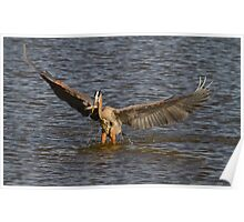 Great Blue Heron - Hovering Poster