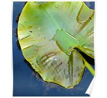 lily pad in a blue pond Poster