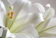 Lilies by Steven Huszar