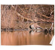 Goose on pond Poster