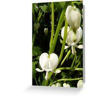 white bleeding heart macro Greeting Card