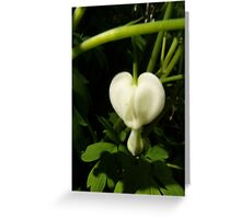 solitary white bleeding heart macro Greeting Card