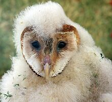 Young Barn Owl by Rich Summers