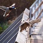 Ducks flying 2 by Ryan Dronsfield