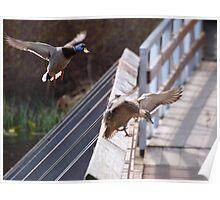 Ducks flying 2 Poster