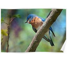 Bluebird in Early Spring Poster