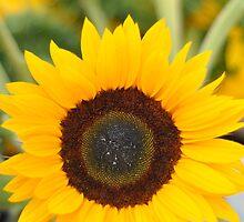 Sunflower by davetefft
