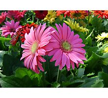 Pretty Pink Daisies Photographic Print