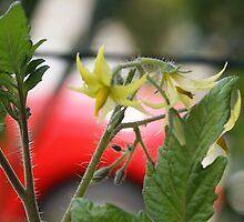 Tomato Blooms; La Mirada, CA USA Spring 2010 by leih2008