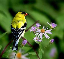 AMERICAN GOLDFINCH by Debbie  Fontaine