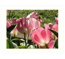 Toowoomba tulips Art Print