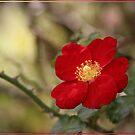 A rose etc. by Chris Cohen