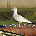 Iceland Gull by Jamie  Green