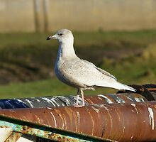 Iceland Gull by VoluntaryRanger
