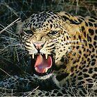 Leopard - Serengeti National Park by Kevin Jeffery