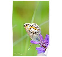 Silver-studded Blue, Plebejus argus Poster