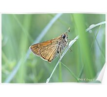 Lulworth Skipper, Thymelicus acteon Poster