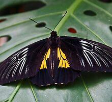 Spread-eagled Butterfly  by Kenric A. Prescott