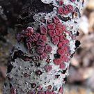 Peniophora rufa - Red Tree Brain Fungus by Tracy Faught