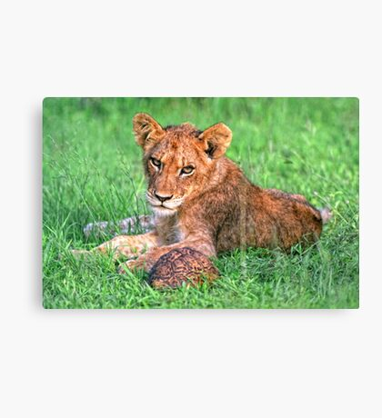 Lion cub and tortoise Canvas Print