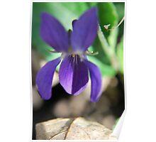 Spring Violets Poster