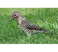 Northern Flicker / Yellow Shafted Flicker Photographic Print