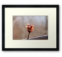 Maple Bud Framed Print