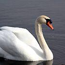 Mute Swan Portrait by Dave & Trena Puckett
