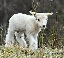 Easter lamb by Alan Mattison