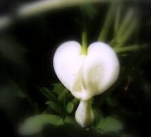 white bleeding heart, soft focal black & white by Dawna Morton