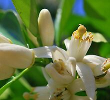 Orange Blossom by Alan Brazzel