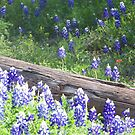 Bluebonnets grow everywhere! by icesrun